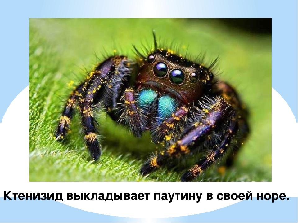 Ктенизид выкладывает паутину в своей норе.