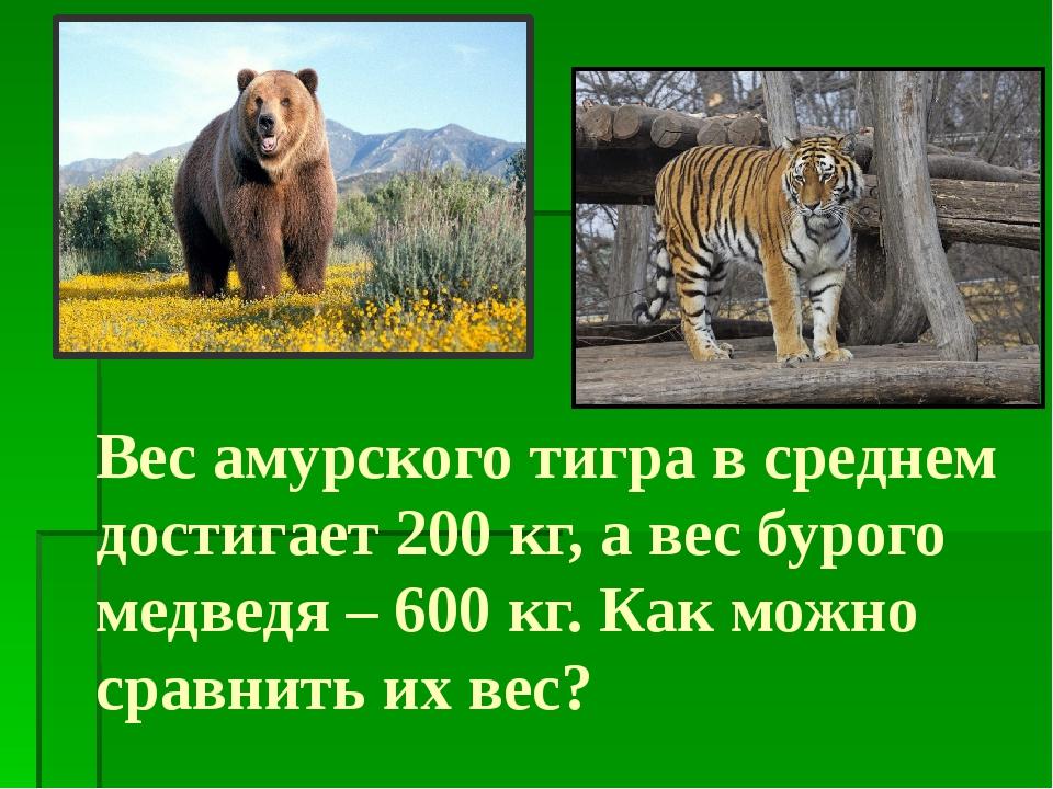 Вес амурского тигра в среднем достигает 200 кг, а вес бурого медведя – 600 кг...